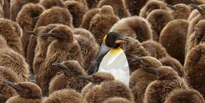 surroundedpenguin